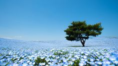 Mesmerizing Fields Of Blue Flowers In Hitashi Seaside Park In Japan
