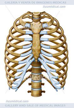 ilustración vista frontal costillas humanas. Son huesos planos que rodean el pecho, permitiendo a .....