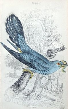 CUCKOO Engraved by William Lizars after Stewart Published Edinburgh 1838 by W H Lizars in Sir William Jardine s Naturalist s Library This is plate 24