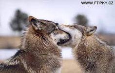 Výsledek obrázku pro obrázky vlků s vtipy