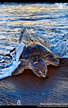 Playa-ostional-tortugas, COSTA RICA. Have tagged sea turtles in Tortuguero Costa Rica as a volunteer with the Caribbean Conservation Corporation at the Archie Carr Research Station in Tortuguero. Would like to see Ostinal too.