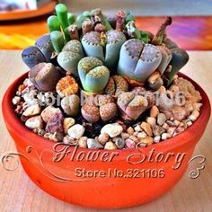 Lithops _ are truly fascinating little plants. Lithops are perfect for people to grow who have a lot of space because they are small and can grow really well in a pot on the windowsill. Lithops should be cared for like other succulents by wate Colorful Succulents, Cacti And Succulents, Planting Succulents, Planting Flowers, Potted Flowers, Succulent Seeds, Succulent Gardening, Container Gardening, Succulent Bonsai