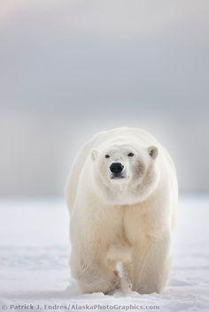 Adult female polar bear walks on the snow on an island in the Beaufort sea, arctic, Alaska.