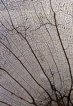 Sea Fan Coral - intricate patterns in nature; organic texture inspiration