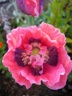 Pink Ruffled Poppy