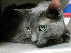 MS KITTY - A1049039 - - Brooklyn ***TO BE DESTROYED 08/28/15*** DUMPED FOR LITTERBOX ISSUES, THIS 14 YEAR OLD SENIOR IS NOW SCARED TO DEATH AND WAS PUNISHED WITH A NEW HOPE RATING FOR HER FEAR – HELP MS KITTY ESCAPE THE JAWS OF DEATH AND HAVE A HAPPY ENDING TO HER STORY! MS KITTY is 14 years old. She has lived with other cats and is said to be gentle around children. MS KITTY's owner cited personal problems as his reason to abandon his long-time pet, but then w