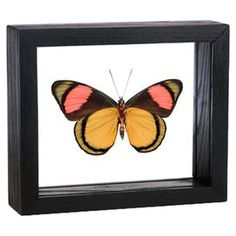 Brush-footed butterfly framed in double-paned glass.  Product: Framed butterfly wall artConstruction Material: Wood and glassColor: Black frameFeatures: Genuine framed papilio blumeiDimensions: 5 H x 6.5 W x 2 D