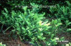 Cephalotaxus harringtonia 'Prostrata'