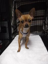 PipSqueak is an adoptable Chihuahua Dog in Simi Valley, CA. ~~~ Weight: 3.5 pounds ~~~ Approximate Birth date: 2/7/12 ~~~ Energy level: Medium � � PipSqueak is one of the itty bitties at the rescue sh...