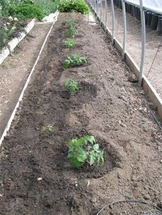 This is a MUST READ for anyone growing tomatoes. There's LOTS of science behind this planting plan that makes super healthy plants. Links give even more advice/ with pictures.