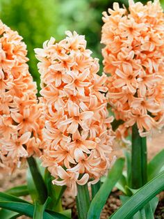 Hyacinth Odysseus, large flower heads in shades of peach. Intense fragrance.