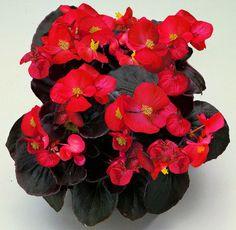 1,000 pelleted seeds Begonia Chocolates Red