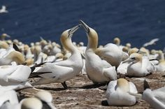 In search of a northern gannet colony!