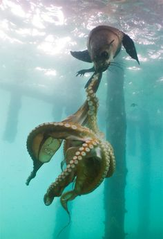 Sea lion attacking octopus