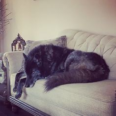 he king, atop his throne 🐺. Rescue Dogs, Beautiful Wolves, Animals Beautiful, Wolf Hybrid Dogs, Wolfdog Hybrid, Animals And Pets, Cute Animals, Wolf Photos, Comic Art