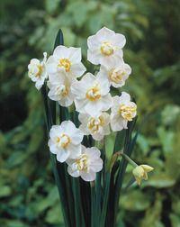 """Gardenia Daffodil 14"""" - 18"""" Mid - Late Spring"""