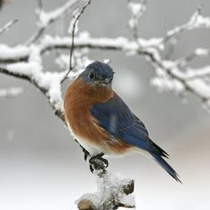 Eastern Bluebird on snow-covered branch
