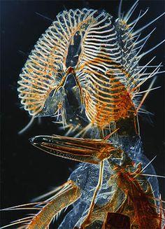 Mr. Ralph Grimm  Jimboomba, Australia  Specimen: Housefly Proboscis  Technique: Darkfield Illumination
