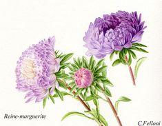 aquarelle-bota-clairefelloni - Le blog met en ligne des cours d'aquarelle botanique, il parle de mon activité d'animation de stages d'aquare...