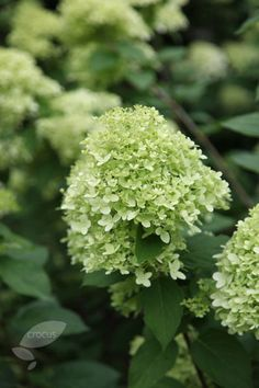 Hydrangea paniculata 'Limelight Moist, well-drained, moderately fertile, humus-rich soil Fast-growing Flower colour: lime green, fading to cream and then pink The flower-heads make excellent dried flower arrangements Hardiness: fully hardy Hydrangea Paniculata, Limelight Hydrangea, Green Hydrangea, Hydrangeas, Fast Growing Flowers, Fast Growing Shrubs, Backyard Plants, Cottage Garden Plants, Dried Flower Arrangements