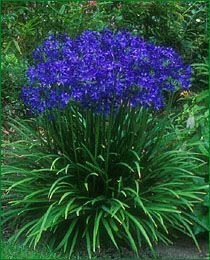 Agapathus- Agapanthus requires full sun and a fertile soil which should be moist rather than dry, but not boggy. They are fleshy-rooted plants that produce clumps of sword like foliage which dies back in winter to emerge again the following spring. Blooms lean toward the sun.