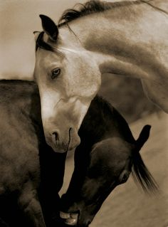 Horse love, black and white photography. Nuzzling