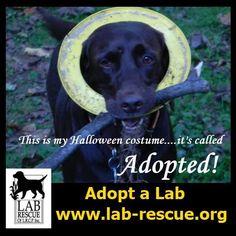 #adoptalab www.lab-rescue.com