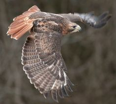 Red Tailed Hawk, Raptors, Bald Eagle, Owl, Birds, Animals, American, Animales, Animaux