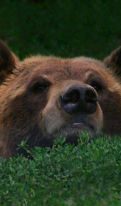 Peek a boo Bear Pictures, Animal Pictures, Animals And Pets, Cute Animals, We Bear, Bear Art, My Spirit Animal, Forest Animals, Brown Bear