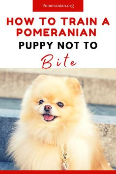 How to train a Pomeranian puppy not to bite. Stopping Pomeranian puppy biting and growling. #pomeranian #pomeranians #dochlaggie #pomeranianheadquarters #pomeranianhq #pomeranianorg Dog Commands Training, Dog Training Leads, Puppy Training Tips, Dog Training Videos, Stop Puppy From Biting, Pomeranian Puppy, Teacup Pomeranian, Puppy Backpack, Dog Training Techniques
