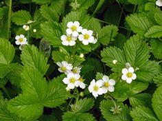 Flowers Nature, Wild Flowers, Strawberry Flower, Norwegian Wood, Moon Garden, Wild Strawberries, Draw On Photos, Hobby Farms, Native Plants
