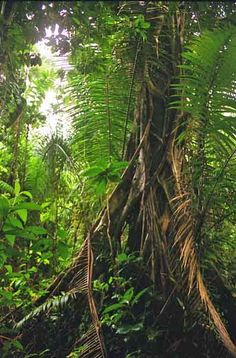 a walking tree in the amazon jungle between iquitos, peru and letticia, columbia