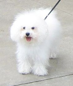 Bolognese-The Bolognese is a small breed of dog of the Bichon type, originating in Italy. The name refers to the northern Italian city of Bologna. It is part of the Toy dog group and is considered a companion dog.