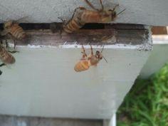Beautiful Golden Bee