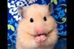 Hamster Via Cute Animals -fb