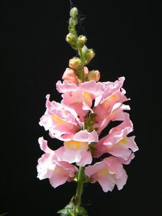 Pink Snapdragon Spray on Black by Mary Sedivy. Pink is the color of passion and romance. A pink snapdragon spray against the black of night will brighten your mood in dramatic fashion. Beautiful Flowers Photos, Beautiful Flowers Garden, Flower Photos, Beautiful Gardens, Beautiful Images, Black Background Photography, Floral Photography, Pink Blossom, Blossom Flower
