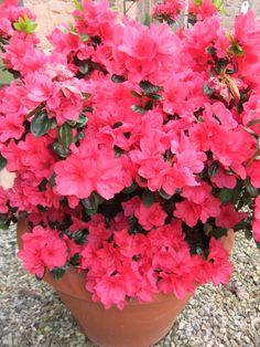 Azalee fiorite nel giardino di Villa La Clausura