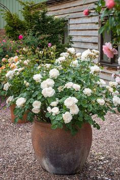 House Plant Maintenance Tips Roses in pots can bring character and interest to the garden when placed at entrances or alongside paths. They will also soften areas of gravel or paving. Grouping a number of potted roses together will create the feeling of a Gravel Garden, Garden Planters, Gravel Patio, Potted Garden, Concrete Patio, Garden Paths, Back Gardens, Small Gardens, Small Garden Patios