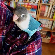 My blue bird ! #bird #bluebird #parakeet #life #earlymorning #bon #torimizuki