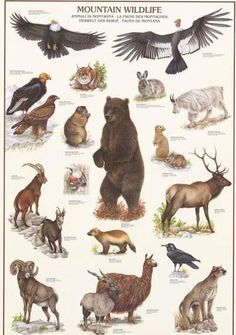 A great Mountain Wildlife poster! Various animals found in the mountains of North America. Published in Fully licensed. Need Poster Mounts. Animal Facts, Animal 2, Wild Life, Animals Of The World, Animals And Pets, Wildlife Biologist, Illustration Botanique, Animal Habitats, Animal Posters