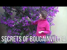 The Secrets of Bougainvillea: Sharing Everything I Know About This Color...