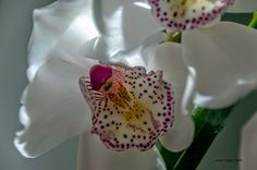 Un universo paralelo. Esfera: Orchidaceae. Delhi.