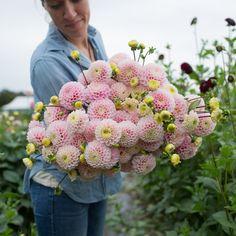 Dahlia Wizard of Oz – Floret Flower Farm Cut Flower Garden, Flower Farm, Flower Beds, Cut Garden, Summer Garden, Pastel Flowers, Cut Flowers, Edible Flowers, Pink Cotton Candy