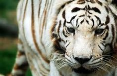 Siberian tiger - Bing Images