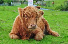 Scottish baby Cows