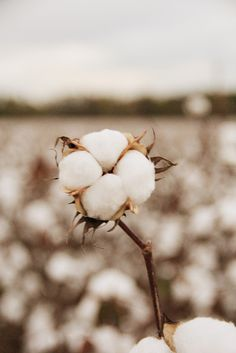 Fields of cotton in the Fall