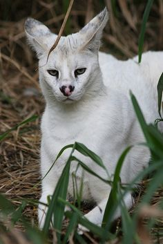 Pharaoh - White Serval by BigCatRescue on Flickr