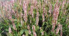 Persicaria ampl. 'Rosea' op vasteplant.be