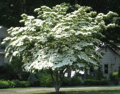 dogwood kousa | Dogwood, Kousa Spring