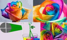 Prepare 3 or 4 glasses of warm water with different food coloring. Make sure to use a lot of coloring, the stronger the better. Use cream or white roses and split the bottom of the stem in 4 pieces, about 2 inches high. Put each piece in a different color water and let sit for approximately 36 -48 hours.